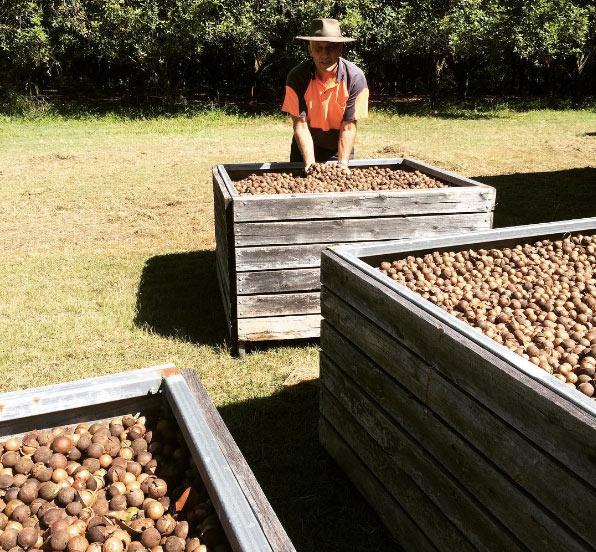 harvesting macadamia nuts